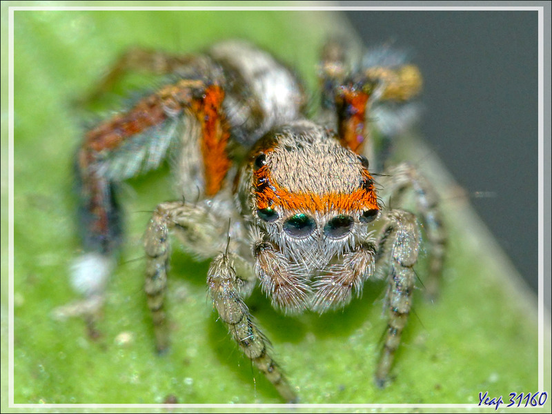 "Araignée sauteuse (Saltique, Jumping spider) ""Pied barbu"" (Saitis barbipes) mâle - Lartigau - Milhas - 31"