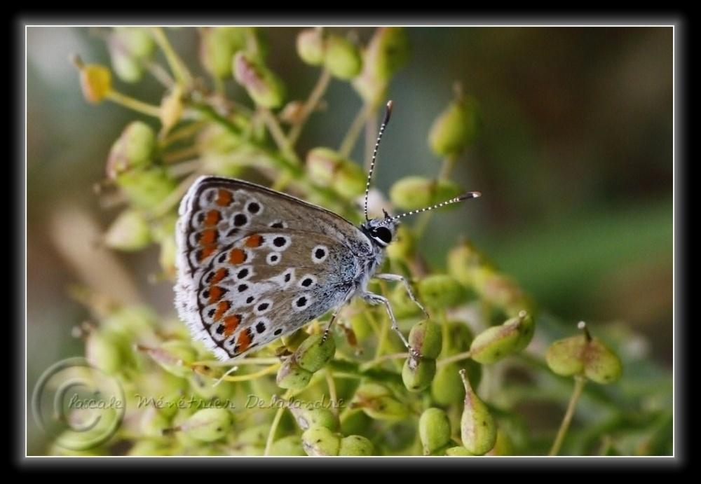 Azuré de la Bugrane » (Polyommathus icarus)