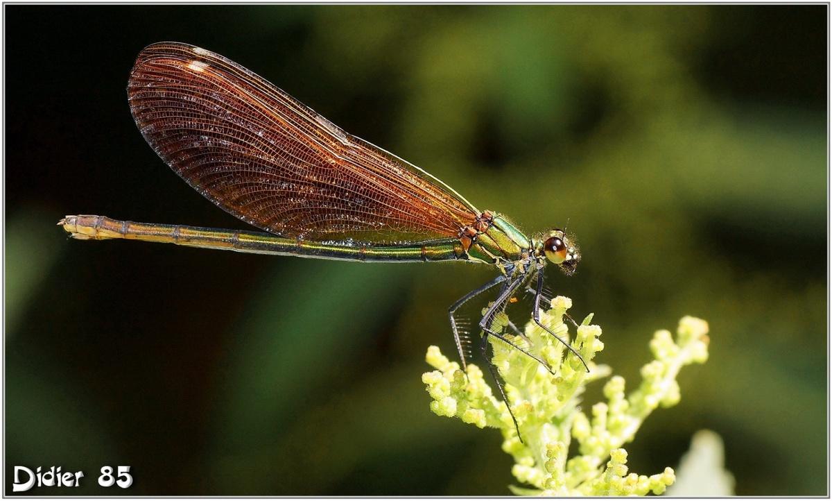 Caloptéryx Vierge (1) - Calopteryx virgo / Femelle