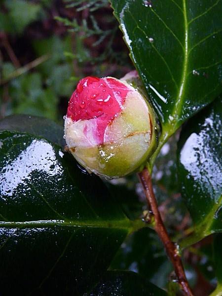 Camellia-rouge-13-02-2011-004.jpg