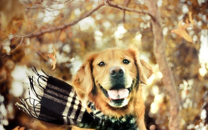 thumb2-golden-retriever-autumn-labrador-dogs-forest.jpg