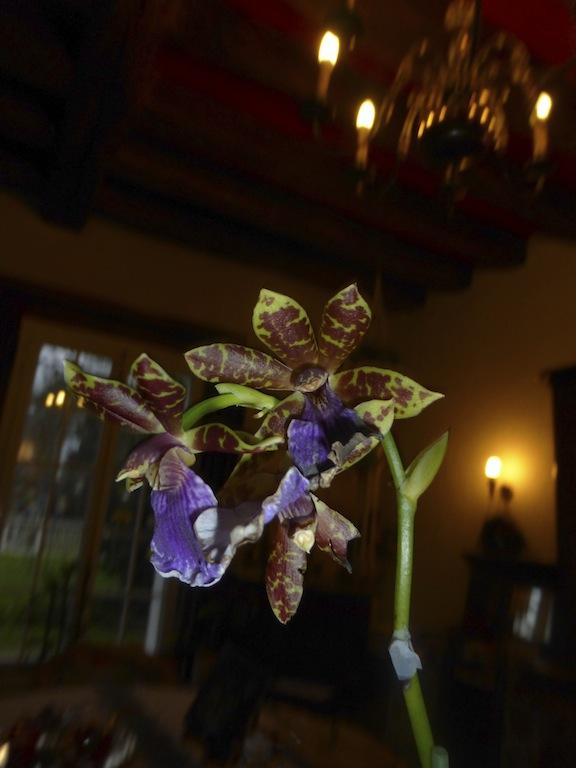 """Un joli cadeau: une orchidée """"Zygopetalum"""""""