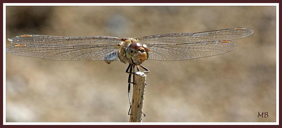 Insectes 01 libellule 4098
