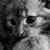 Icones Félins/Chats ( demande de Chacha)