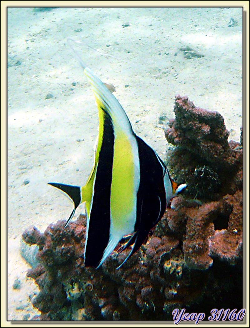 Zancle (Zanclus cornutus) ou paraha tore - Motu Porou - Tahaa - Polynésie française