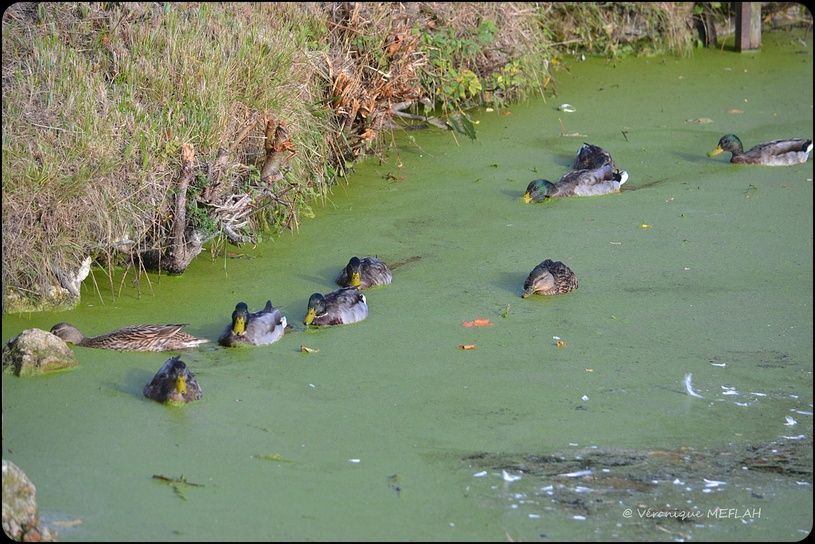 Rambouillet : Jeunes canards Colvert