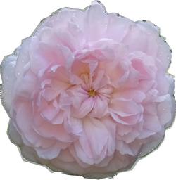 rose églantine