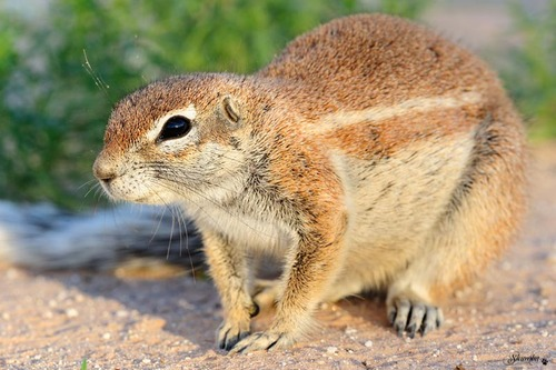 Our little friends, the ground squirrels