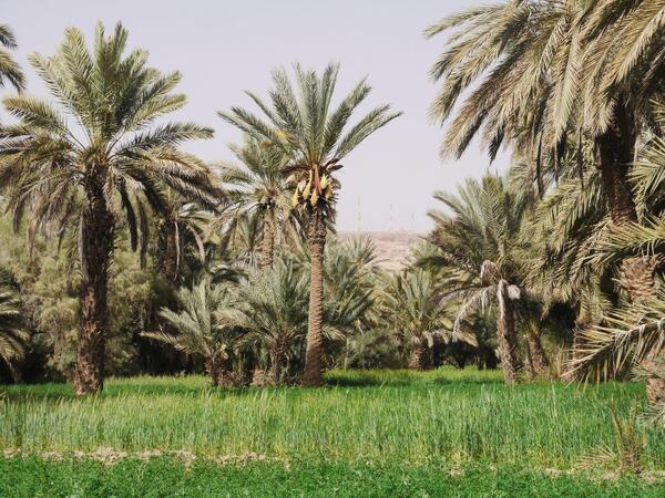 Du blé et des palmiers