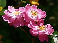 Rose-Magic-Meillandecor.jpg