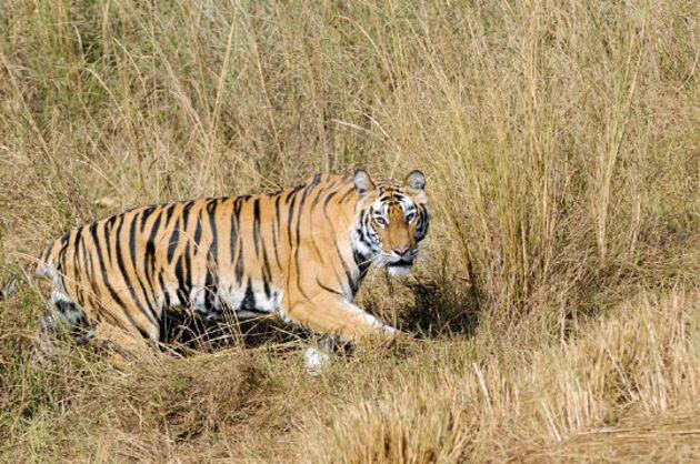 Prédateur du tigre