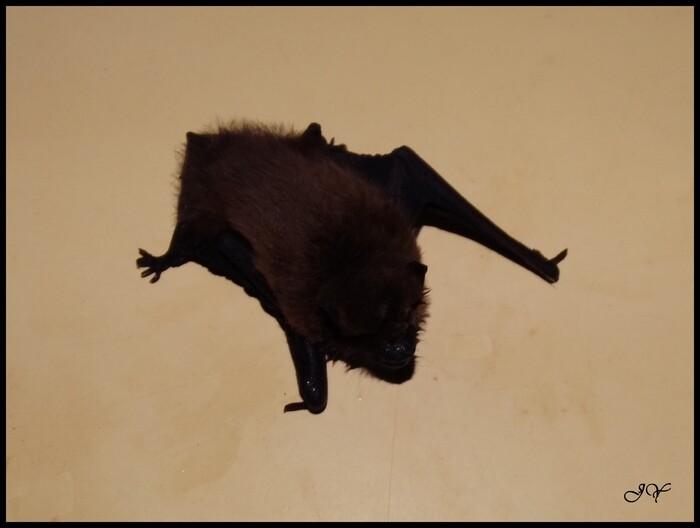 Pipistrelle.