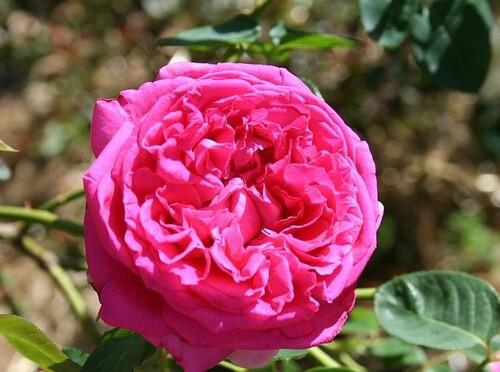 Les roses de Warren : Dame en Rose