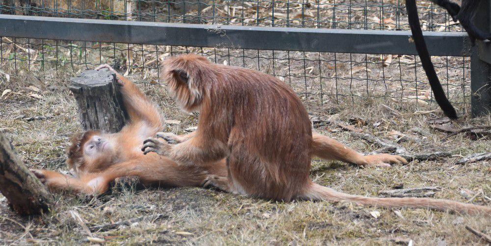 Epouillage-papouillage entre langurs de java, au zoo de La Teste...