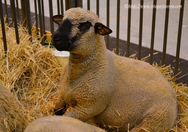 27 février 2012 Mouton Salon de l'Agriculture 1