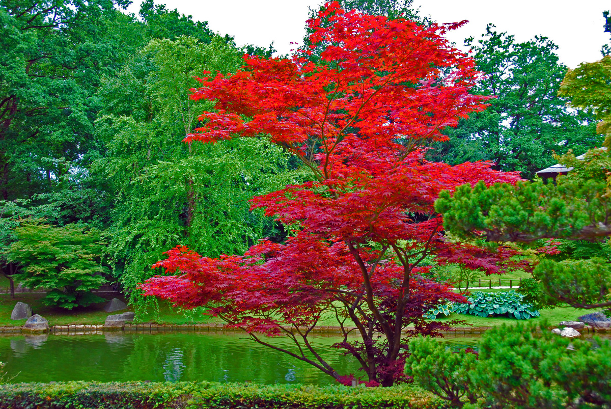 Les arbres d 39 ornement l 39 rable du japon mamykool - Erable rouge du canada ...