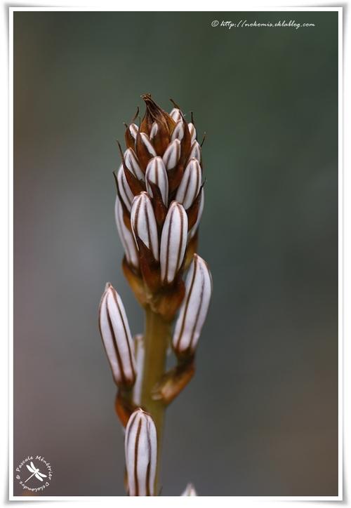 Asphodèles (Asphodelus fistulosus)