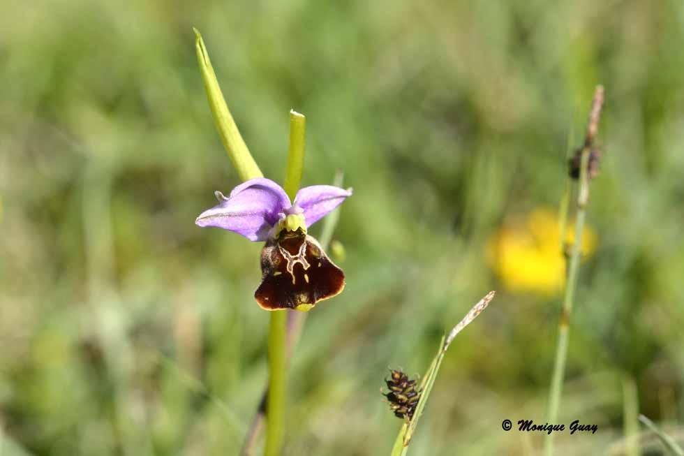dans une friche, rencontre avec les orchidées (2/2)