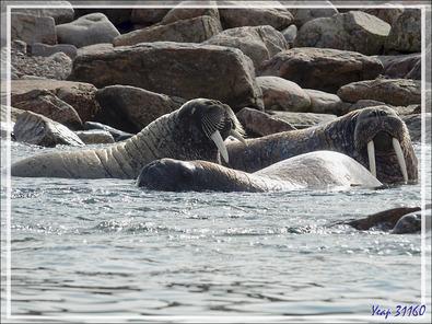 Morse, Walrus, Aiviq (Odobenus rosmarus rosmarus) - Philpots Island - Nunavut - Canad