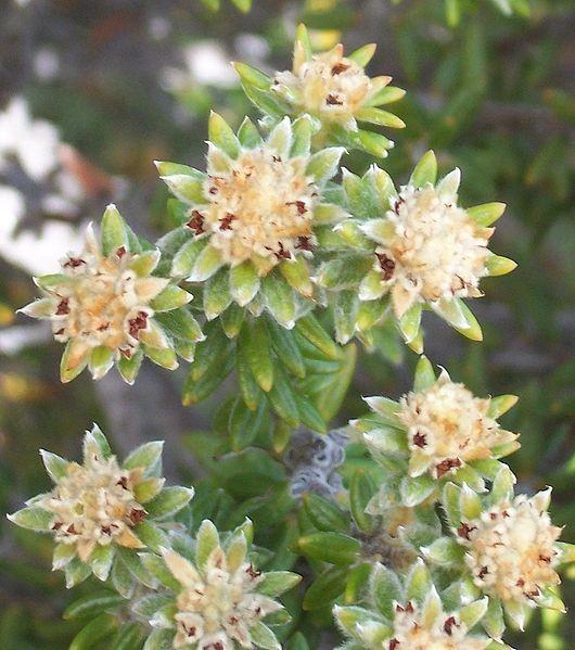 530px-Phylica nitida flowers