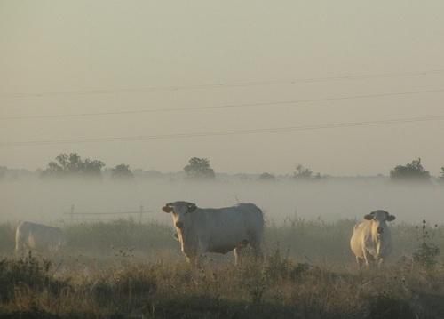 ... vaches dans la brume...
