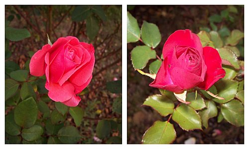 2-roses-rouges-le-24-octobre-2011.jpg