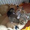 Chatons tigrés