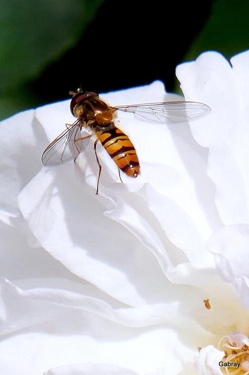 Des roses et des insectes!