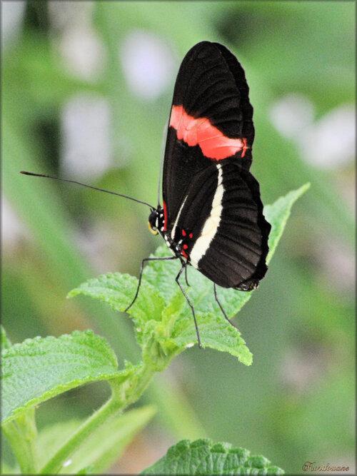 Photos papillons tropicaux (Ile aux papillons)