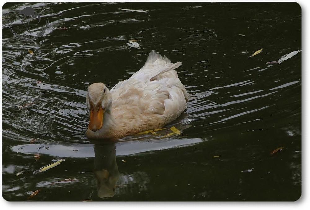"""Canard """"blanc""""..."""