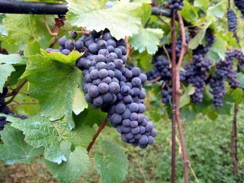 http://ekladata.com/-acoUOA0S-ESm3EDAN2wyinr9zk/ob-02e9c0-vineyard-in-montone.jpg