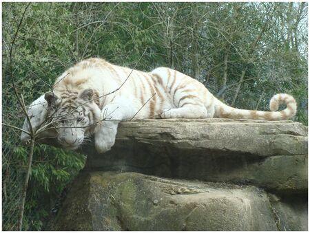 Tigre_4