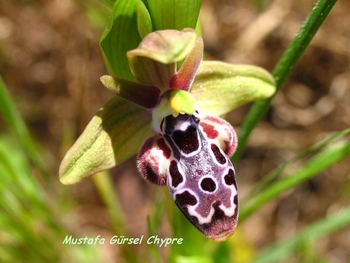(endemic to cyprus)  ophrys kotschyi -kibris ari orkidesi- kotschy's bee-orchid (12)