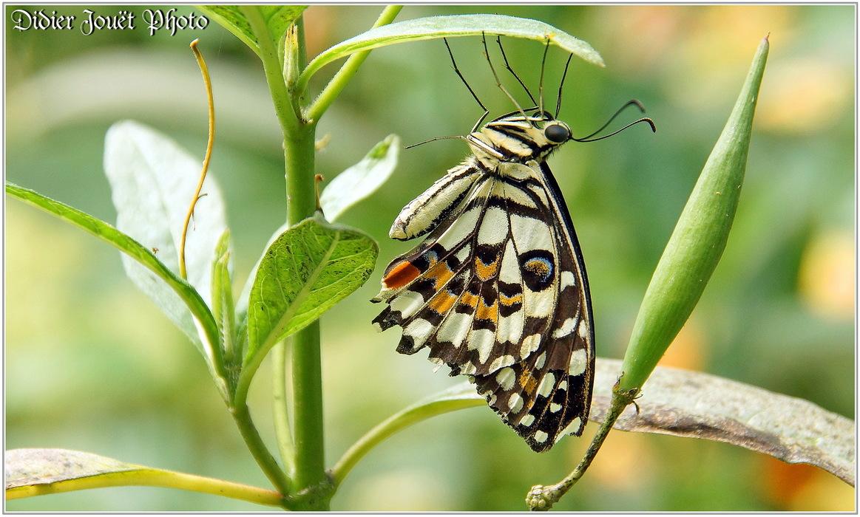Voilier Echiquier / Papilio demoleus