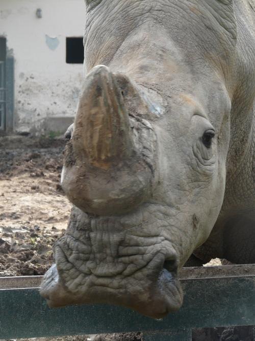 Le rhinocéros...