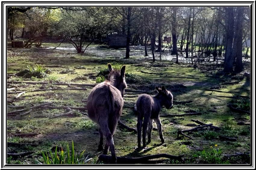 Jolie rencontre avec des ânes sur l'île d'Oléron