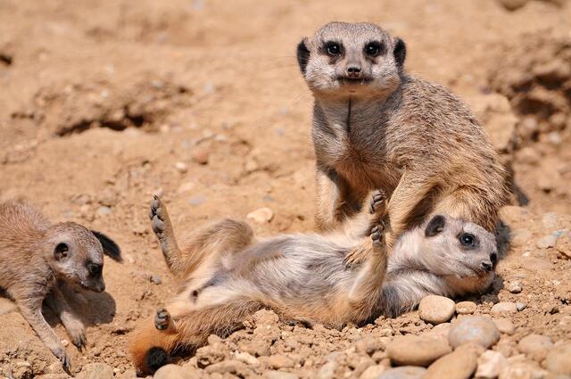 Papa maman petit suricate