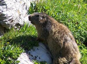 Marmotte - Savoie - Vanoise