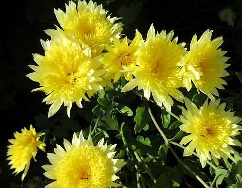 Fleurs cultivées : Chrysanthèmes