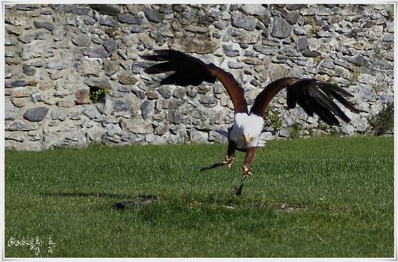 Pygargue vocifère (Aigle pêcheur) - Haliaeetus vocifer - African Fish Eagle