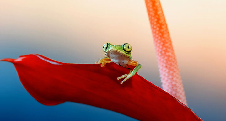 grenouille-animal-photo-macro11