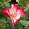 rosier cherry meillandecor - fleur épanouie - mai 2014