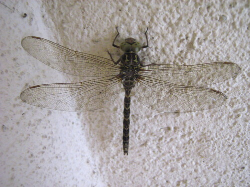 L'aeshne paisible (Boyeria irene)
