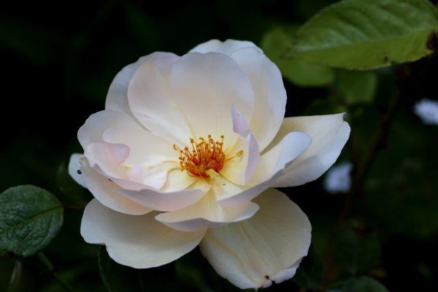 Roseraie - Mai (3/4)