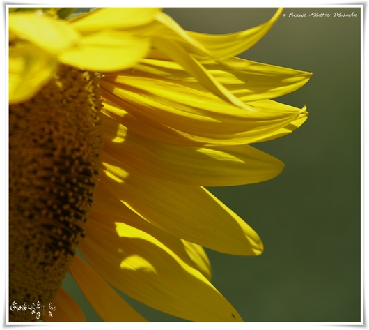 Le tournesol ou grand soleil