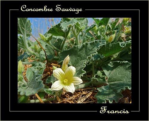 Concombre-d-ane.jpg