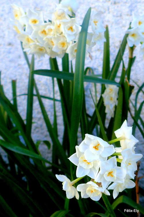 Des fleurs des narcisses