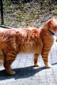 Mon chat Doudou après opération de l'oeil droit