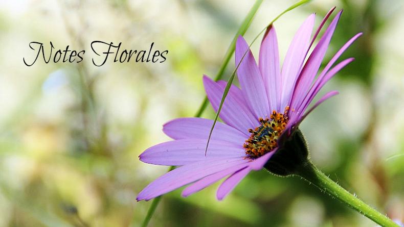 Notes florales [Défi du lundi] - dimorphoteca - marguerite du cap