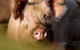 Porc - p297